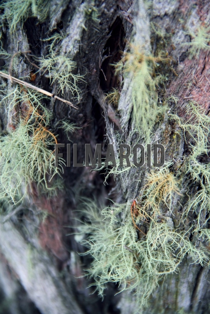 Texture view of pale green moss hairs growing from decaying and moist wood