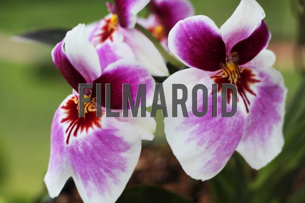 Colombian orchids with purple and white tones
