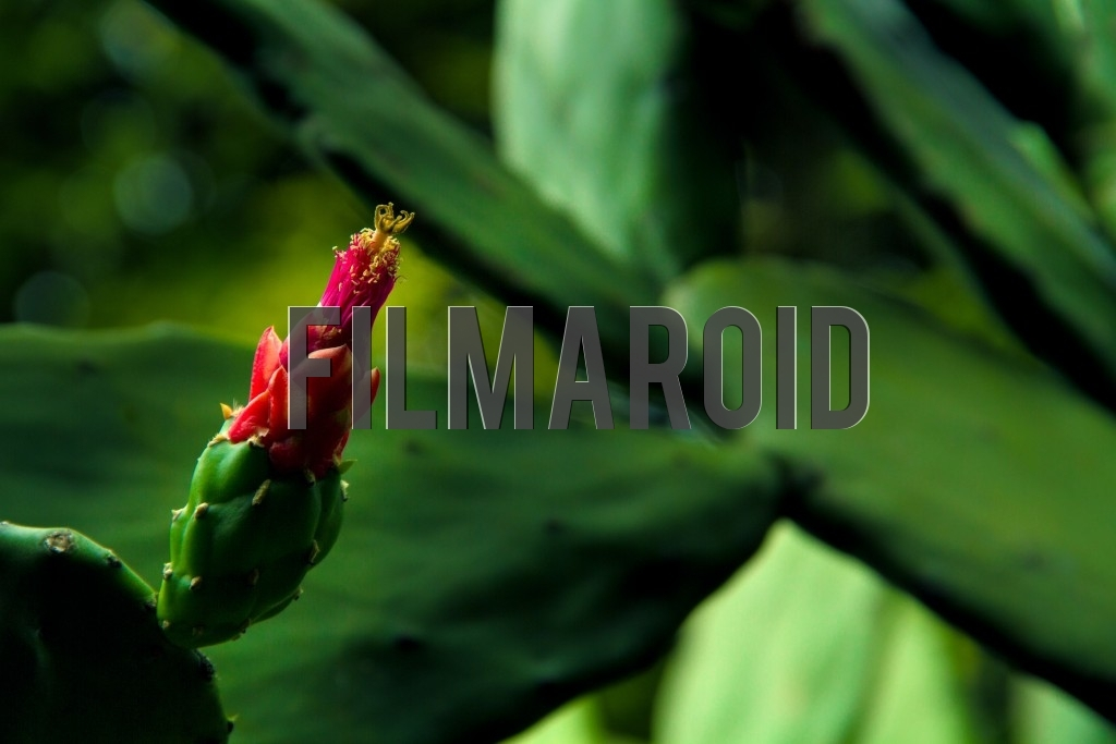 Closeup of an exotic red flower blooming in a massive cactus forest with lots of details and texture