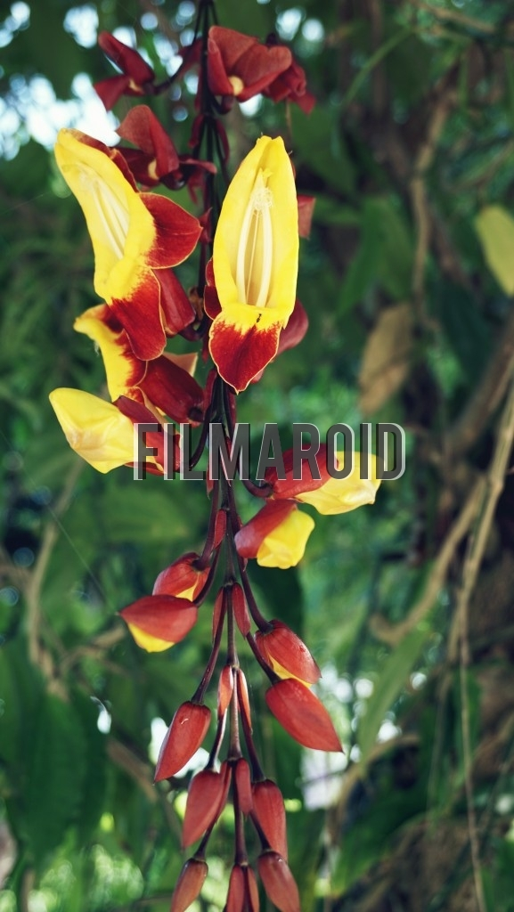 Exotic yellow and red flowers hanging from tree copyright free a group of exotic yellow and red flowers some with wide open petals to attract insects mightylinksfo