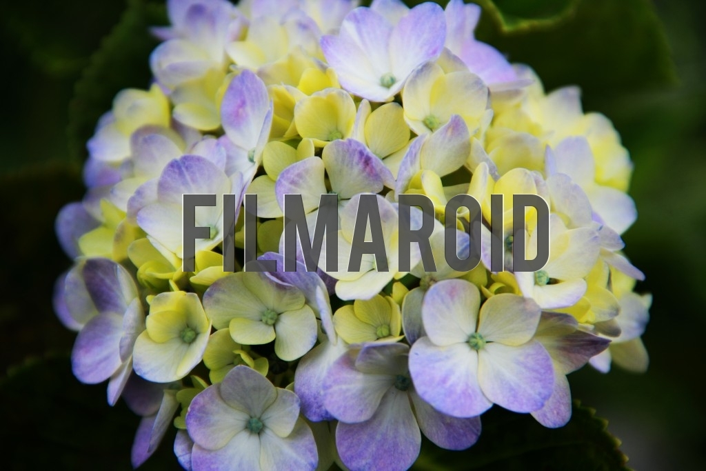 Hydrangea flowers with pale purple and white tones