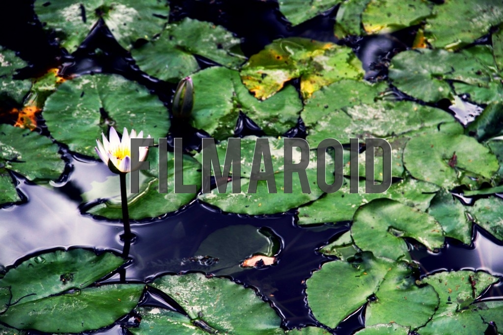 A water Lily resting in pond surrounded by leaves and roots