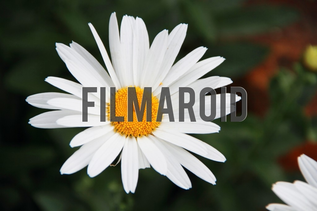 White daisy with yellow center against garden background