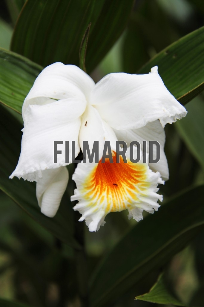 A bright white Orchid with a couple of ants moving across petals