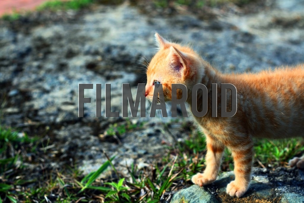 A Red Tabby Kitten wandering around the garden