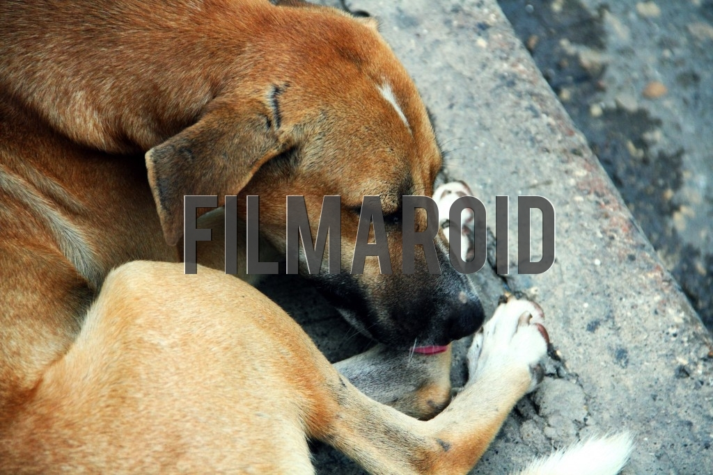 A street dog lying on sidewalk and licking paws