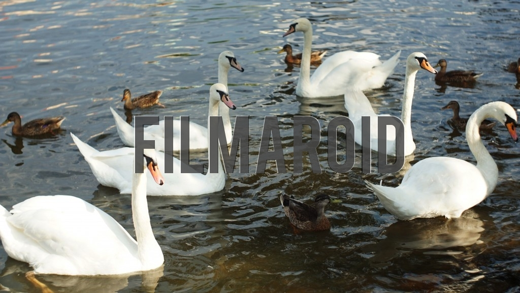 A group of Swans and Ducks swimming in the Vltava river in Prague