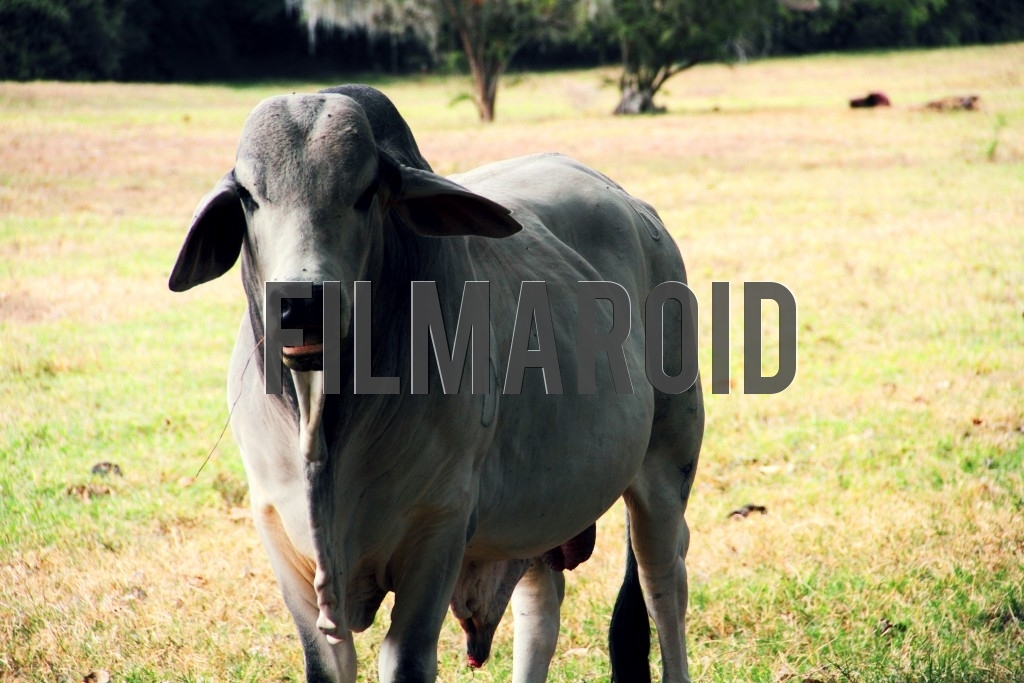 An adult Zebu cattle munching hay and relaxing in farm fields