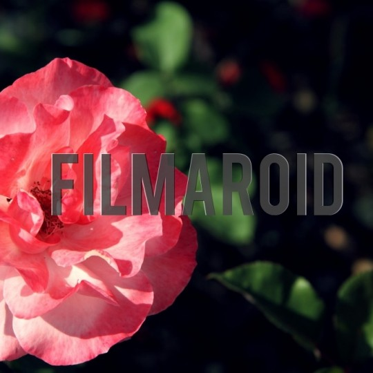 Pink rose in garden - A collection of stock photos about beautiful and exotic Flowers