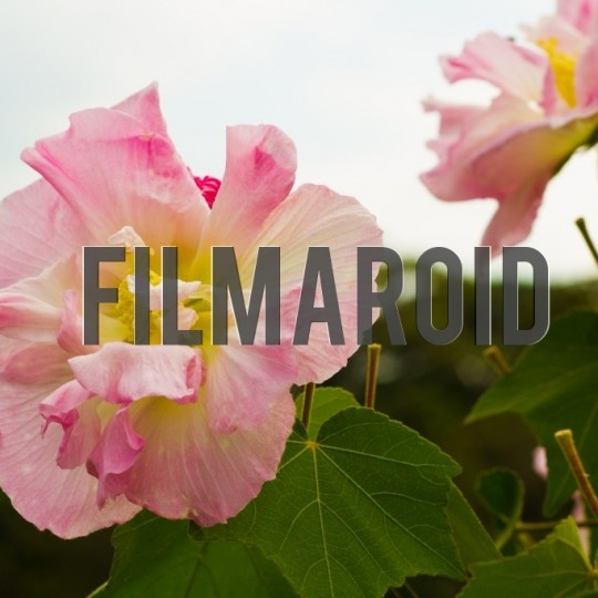 Pink rose with big petals - A collection of stock photos about beautiful and exotic Flowers