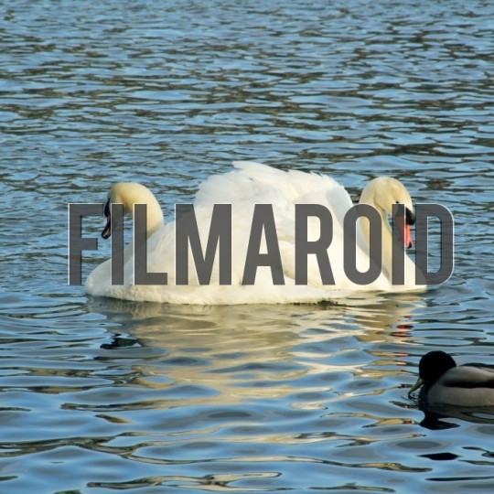 Couple of swans swimming in river - A collection of stock photos about Animals