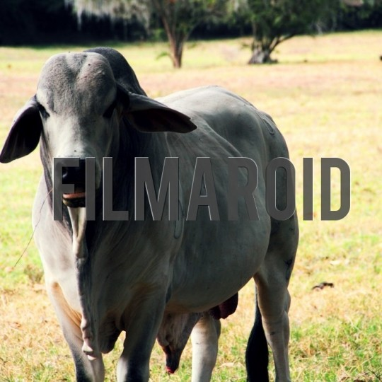 Zebu cattle munching hay - A collection of stock photos about Animals